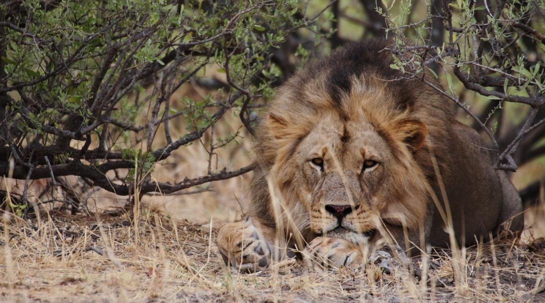 An adult male lion at Wild at Tuli wildlife reserve in Botswana